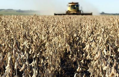 Cosecha de soja tendría merma de  1,5 millones de toneladas