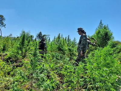 Sacan de circulación 200 toneladas de marihuana en Amambay en primer día de operativo