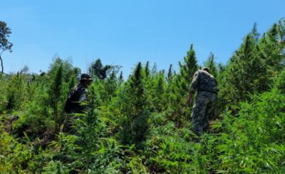 Más de 200 toneladas de marihuana destruidas por la FTC y la PF