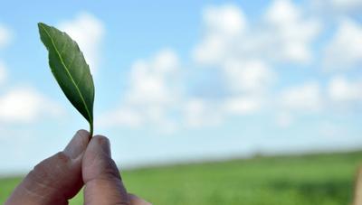 Cada año Paraguay produce al menos 50 millones de kilos de yerba mate (y el 2020 exportó 21 millones de kilos a 25 destinos)