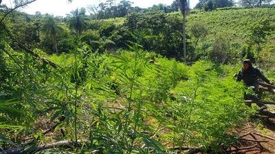 """Más de 762 toneladas de marihuana destruidas en cuarto día del operativo """"Nueva Alianza XXIV"""""""