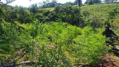 Más de 762 toneladas de marihuana destruidas en cuarto día del operativo «Nueva Alianza XXIV»