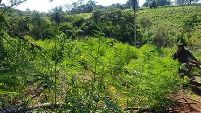 """Operativo """"Nueva Alianza XXIV"""": Lleva más de 762 toneladas de marihuana destruidas en cuatro día"""