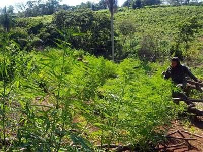 Destruyen más de 700 toneladas de marihuana en zona de Capitán Bado