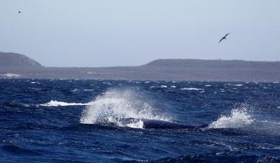 """""""Año catastrófico"""" para el avistamiento de ballenas en Baja California Sur"""
