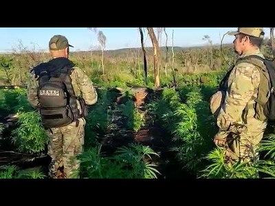 DESTRUYEN PLANTACIONES DE MARIHUANA EN ZONA DE ITAPÚA POTY