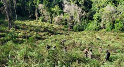 """Operativo """"Nueva Alianza XXIV"""" destruye 1.090 toneladas de marihuana en su primera semana"""