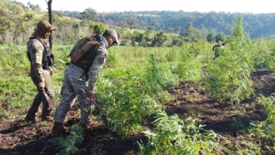 En noveno día consecutivo, el operativo «Nueva Alianza XXIV» destruyó 1.373 toneladas de marihuana