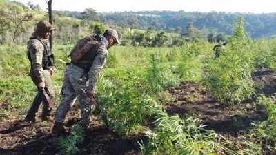 «Nueva Alianza XXIV» destruyó 1.373 toneladas de marihuana en noveno día de operativo
