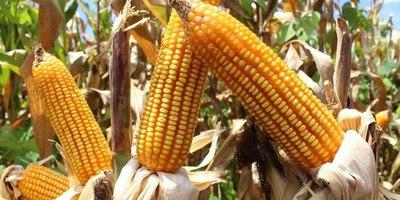 Sector avícola podría disminuir su producción ante la falta de maíz