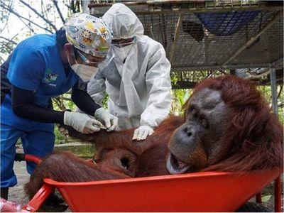 Simios de un zoo de EEUU, primeros animales en recibir vacuna anticovid
