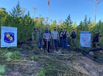 Eliminan 5 hectáreas de plantación de marihuana en Curuguaty – Prensa 5