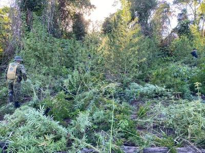 Eliminan cinco hectáreas de plantación de marihuana en Curuguaty