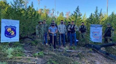 Agentes antinarcóticos eliminan cinco hectáreas de marihuana en Canindeyú