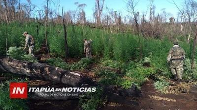 AVANZA DESTRUCCIÓN DE PLANTACIONES DE MARIHUANA EN EL NORDESTE