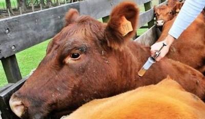 Senacsa logró inmunizar al 98% del hato ganadero en primer periodo de vacunación