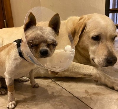 Crónica / Perrito salvó a dueña de ataque de pitbull