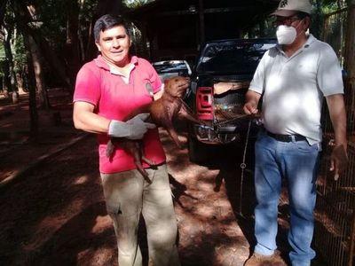 """Hallan a un """"jagua ybyguy"""" (Zorro vinagre) en zona de Santa Clara"""