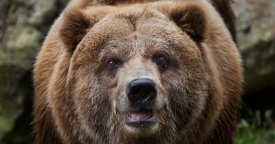 """""""Pablo EskoBear"""", el oso que se tragó más de 30 kilos de cocaína y cuya historia llegará al cine"""