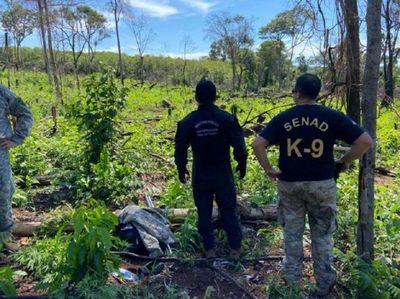 Senad destruye tres hectáreas de marihuana en Pedro Juan Caballero