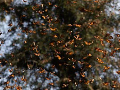 Las mariposas monarca se retiran de mala estancia en México