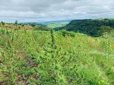 Destruyen 635 hectáreas de plantaciones de marihuana y 104 campamentos