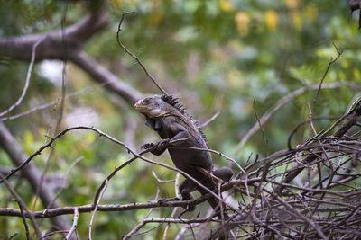 Una iguana invasora de América Latina amenaza a la iguana de las Antillas