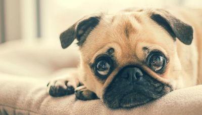 Pet-Go: un emprendimiento pensado para disminuir el estrés de las mascotas (mimados a domicilio)