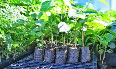 Plantines producidos con tubetes biodegradables son introducidos en parcela recuperada