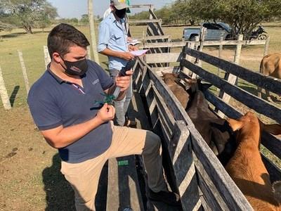 Senacsa logró inmunizar a 13.870.000 cabezas de ganado en primer periodo de vacunación antiaftosa