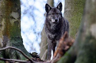 ¿Son los perros lobo buenas mascotas?
