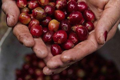 Exportaciones hondureñas de café bajan un 6 % en seis meses de cosecha 2020-2021