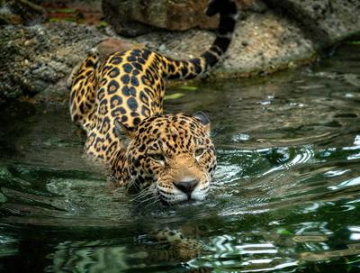 Infiltrados en áreas naturales son una amenaza para los jaguares