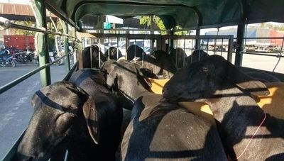 Genética paraguaya que cautiva: 24 ovinos de la raza Santa Inés fueron exportados a Argentina