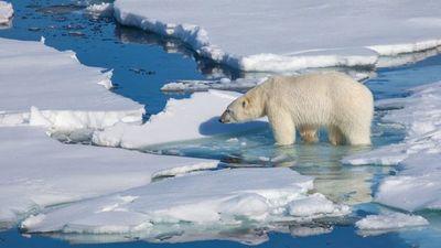 Cambio climático: a falta de focas, los osos polares recurren a los huevos de pato