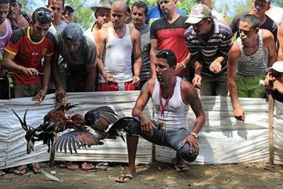 Cuba publica ley contra maltrato animal, pero no prohíbe peleas de gallos