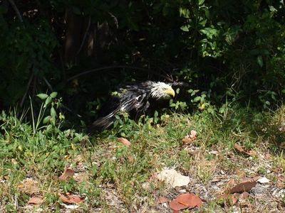 Rescatan a un águila calva herida en zona salvaje de EEUU