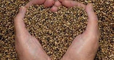 La Nación / Productores de Guayaibí anuncian cierre de ruta para exigir liberación de semillas de cáñamo