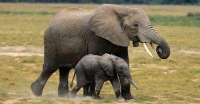 Revelan que dos especies de elefante africano han entrado en peligro de extinción