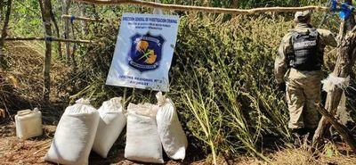 Destruyen 13 hectáreas de marihuana tras incursión en zona rural de Amambay