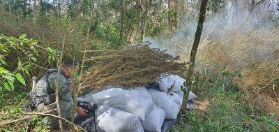Más 47 hectáreas de cultivos de marihuana destruidas en operativo Omega 9