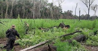 La Nación / Destruyen 66 hectáreas de marihuana en la reserva Mbaracayú