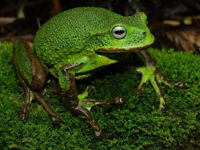 Descubren dos nuevas especies de ranas en la Amazonía peruana