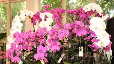 Orquídeas de alta gama ya se producen en Paraguay (variedades reconocidas y premiadas internacionalmente)