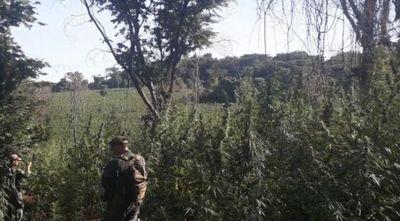 SENAD y la FTC destruyeron más de 300 toneladas de marihuana en Amambay