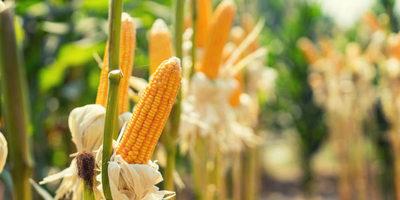 Exportaciones de maíz cayeron 18,5 %