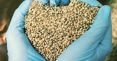La Nación / Pequeños productores nuevamente no pudieron retirar semillas de cáñamo