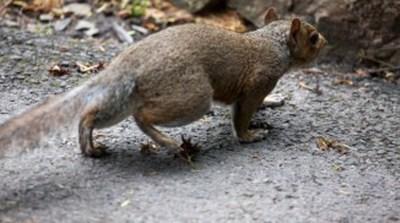 Descubren tres nuevas especies de ratas gigantes que habrían formado parte de la dieta humana