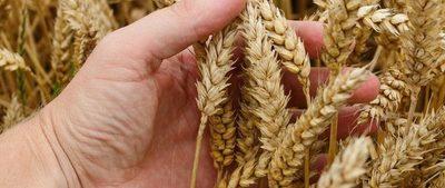 El trigo, con buena exportación