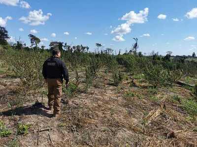 Destruyen toneladas de marihuana en la estancia Mainumby de Caaguazú